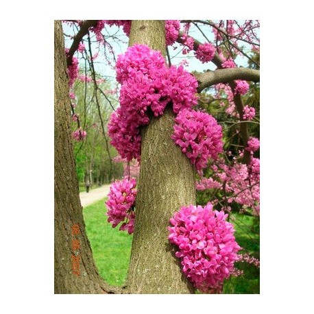 Див рошков ,Дървото на Юда(Cercis siliquastrum)