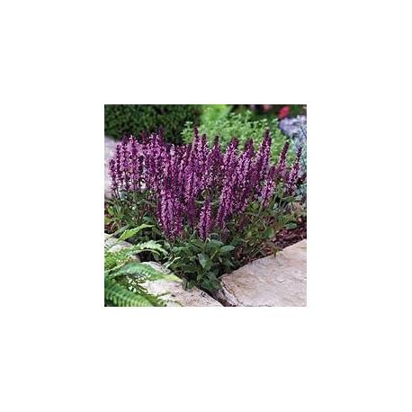 Многогдищна салвия -Вероника лилава и розова /Salvia nemorosa sensation compact bright rose ( compact Violet)