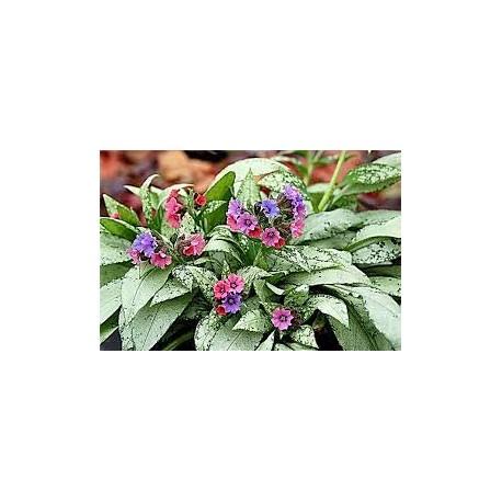 Пулмариа- PulmonariaTrevi fontan /silver bouquet/