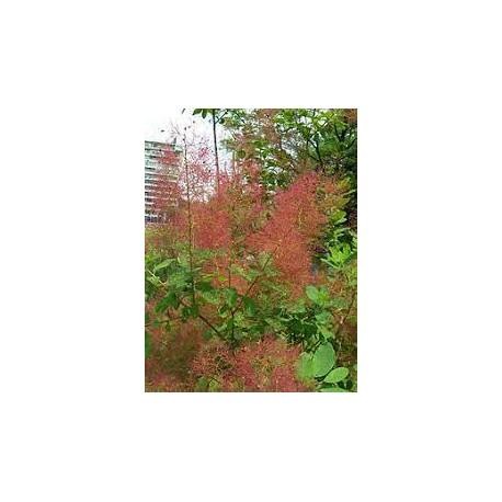 Смрадлика (Тетра)- (Cotinus coggygria)