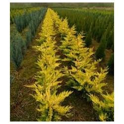 Кипарис Златист - Hamesiparis L. Gold rajder(Cupressocyparis leylandii)