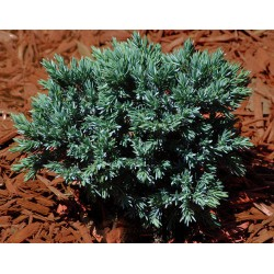 Хвойна синя звезда (Juniperus blue star)