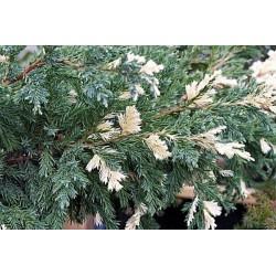 Хвойна (Juniperus Expansa variegata)
