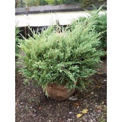Хвойна (Juniperus hetzii)