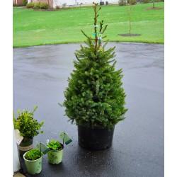 Сръбски смърч (Picea omorika)