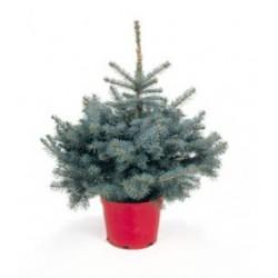 Сребрист смърч (Picea pungens)