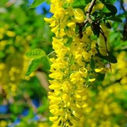 Златен дъжд, (Laburnum anagyroides)