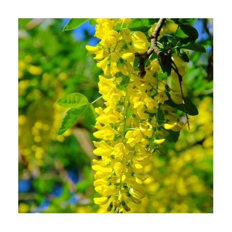Златен дъжд, Лабурнум (Laburnum anagyroides)