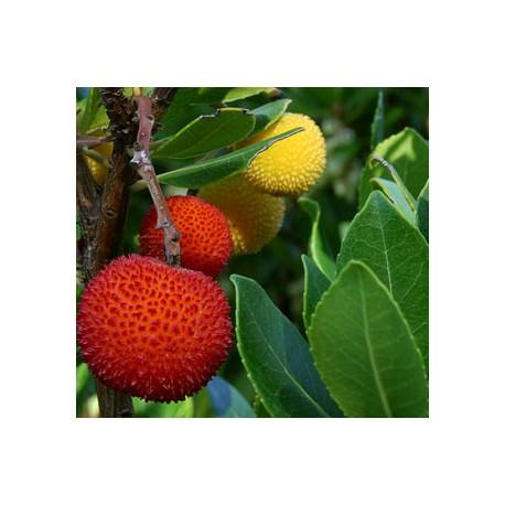 Ягодово дърво, Арбутус (Arbutus unedo)