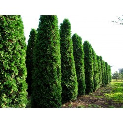Туя (Thuja occidentalis 'Fastigiata')