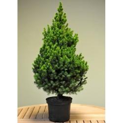 Джуджевиден смърч (Picea glauca conica)