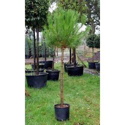 Боров камък, Пиния (Pinus Pinea)