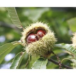 Сладък кестен (Castanea sativa)