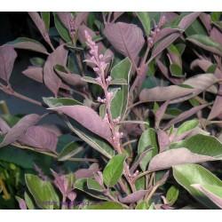 Витекс, Арабски люляк (Vitex trifolia)