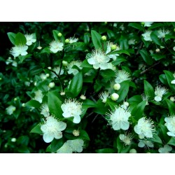 Мирта (Myrtus Communis)