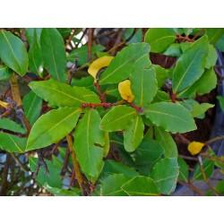Дафинов лист, Лавър (Laurus nobilis)