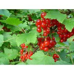 Касис червен (Ribes rubrum)