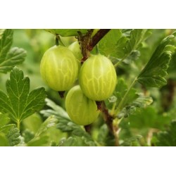 Цариградското бодливо  грозде (Ribes uva-crispa)