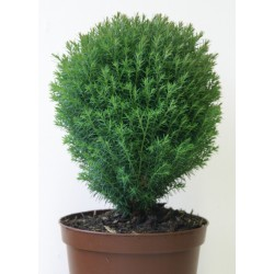 Кълбовидна туя (Thuja occidentalis 'Teddy')