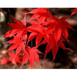 Японски клен (Acer palmatum  Bloodgod)