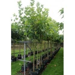 Чинар ( Acer platanoides)