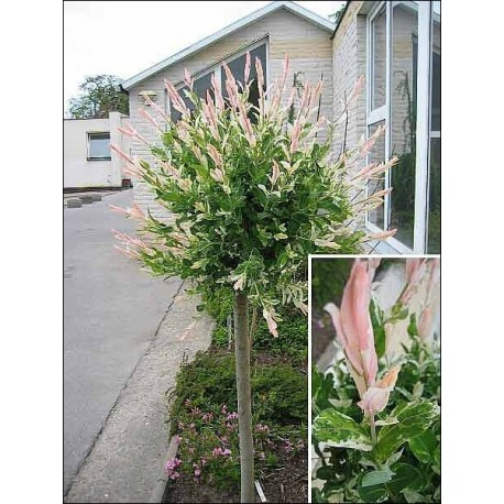 Розова върба (Salix integra 'Flamingo')
