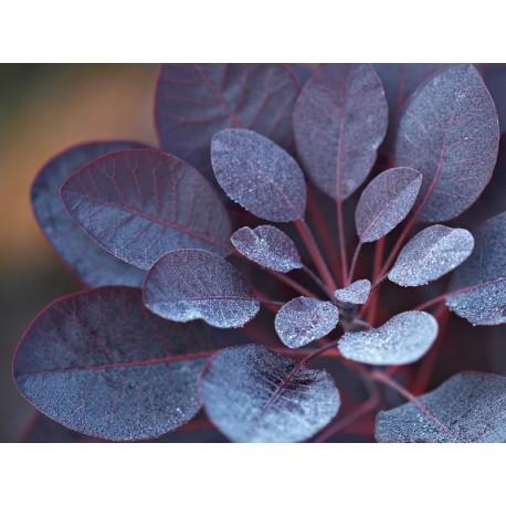 Червена Смрадлика (Cotinus purple)