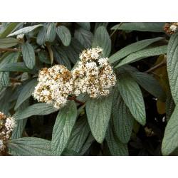 Вечнозелената калина (Viburnum 'Rhytidophyllum')