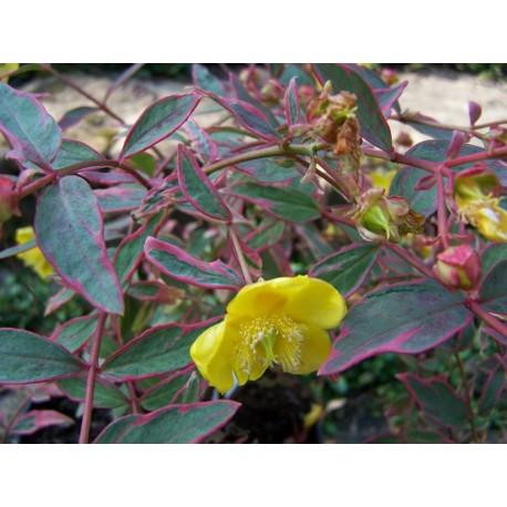 Звъника (Hypericum moserianum 'Tricolor')