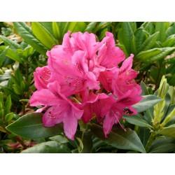 Рододендрон различни цветове  (Rhododendron Hybride)