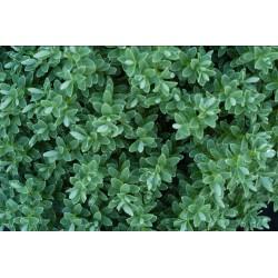 Вероника -Хебе Сиво-Зелено ('Hebe Pinguifolia')