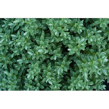Хебе Сиво-Зелен ('Hebe Pinguifolia')