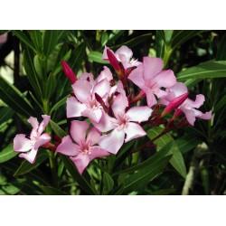 Зокум - олеандър('Nerium oleander')