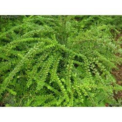 Лоницера зелена (Lonicera 'Pileata')