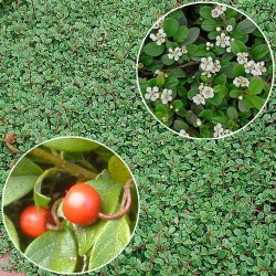 Котонеастер (Cotoneaster dammeri)