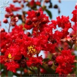 Индийски люляк (Lagerstroemia red)