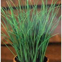 Лучена Трева- Шивес- (Allium Schoenoprasum)