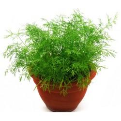 Копърът (Anethum graveolens)