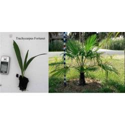 Палма Трахикарпус (Trachycarpus humilis)