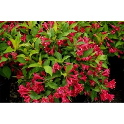 Вайгела (Weigela 'Red Prince')