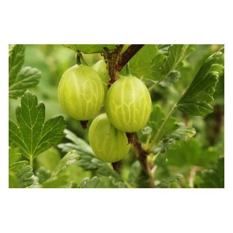 Цариградското грозде (Ribes uva-crispa)