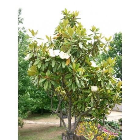 Магнолия (Magnolia grandiflora)