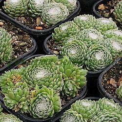 Семпервивум (Sempervivum) - Алпииски рози