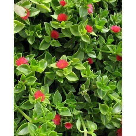 Аптения (Aptenia cordifolia)