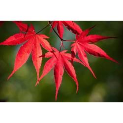 Японски клен (Acer palmatum 'Atropurpureum')