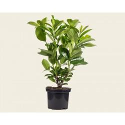 Лавровишня (Prunus laurocerasus)