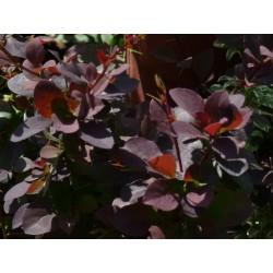 Червен берберис  - (Berberis atropuporea nana )