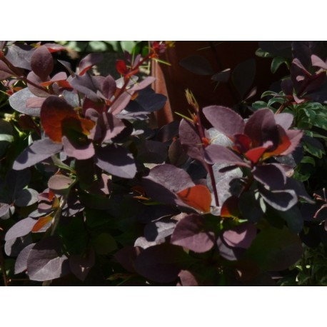 Берберис червен (Berberis rubra)