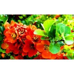 Цидония-японска дюля-хамeмелис(Chaenomeles)