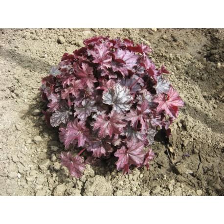 хойхера- пурпорно звънче(Heuchera'' Palace Purple''